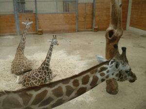 Giraffenhaus_Opel_zoo