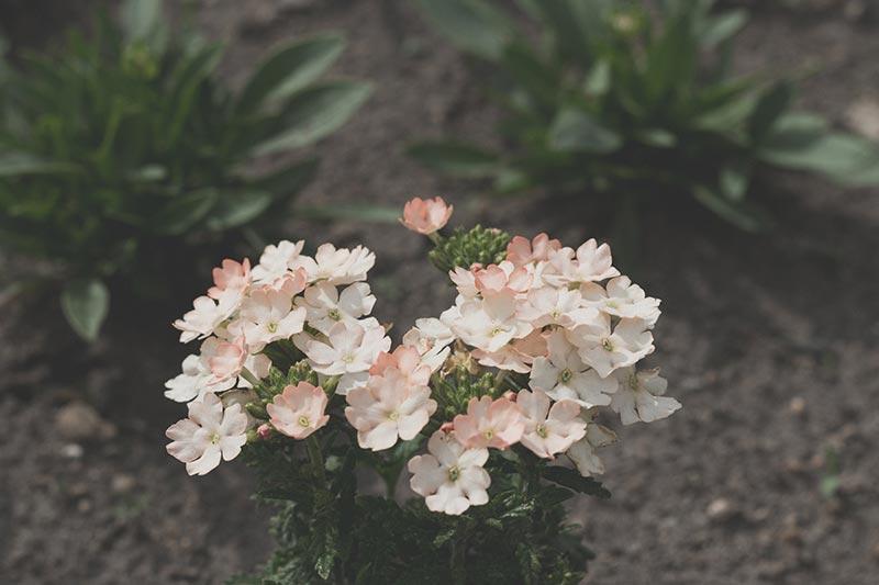 Blumen rosa am Wegesrand, meinestube